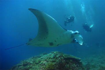 dive with Manta ray