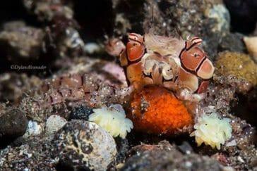 boxer crab in bali