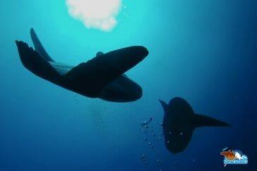 Sunfish-Bali