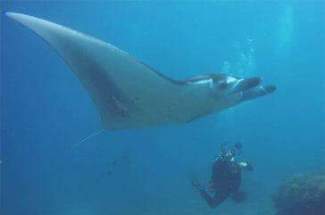 Swimming with manta ray in manta dive Bali trip