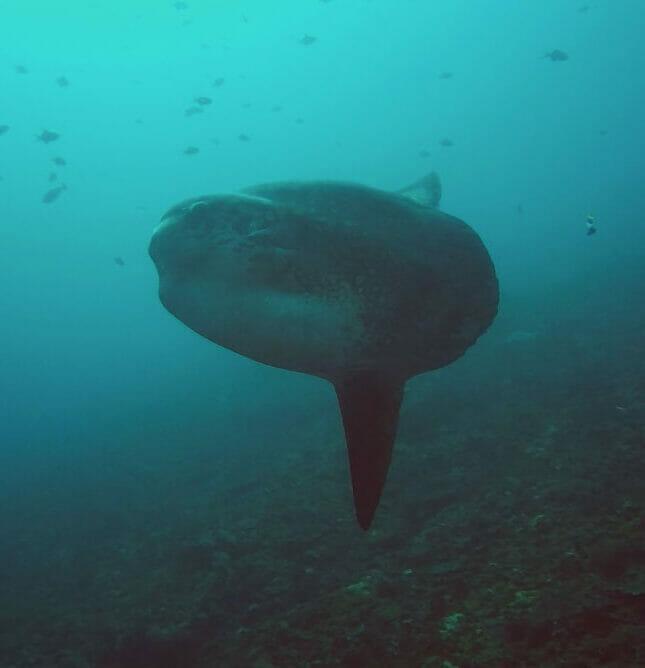 oceanic sunfish bali