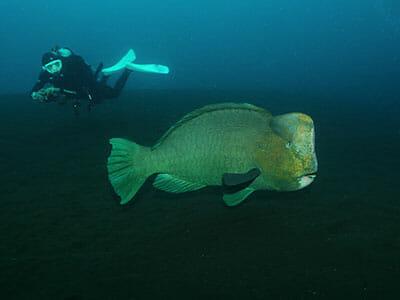 bumphead parrotfish tulamben