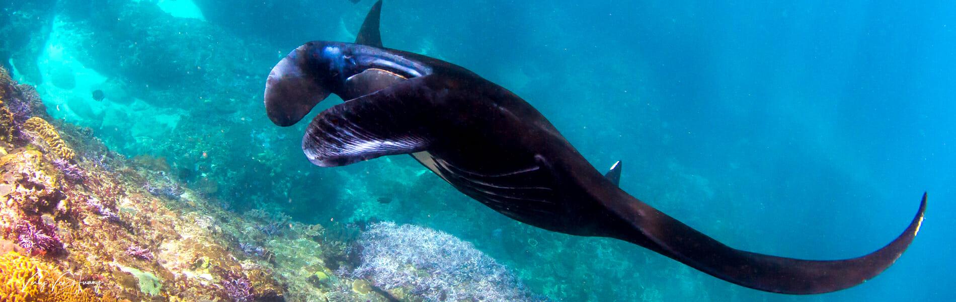bali diving with manta