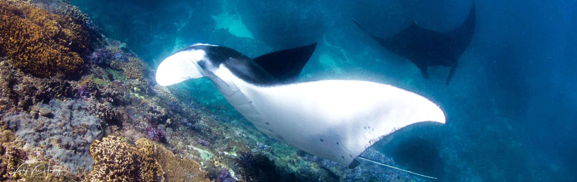 Manta diving in Bali