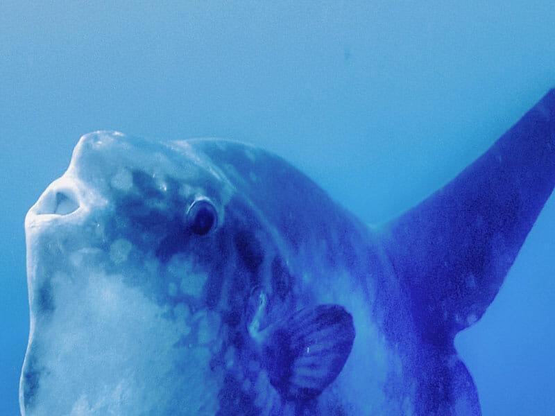 Mola Mola Pep Talk